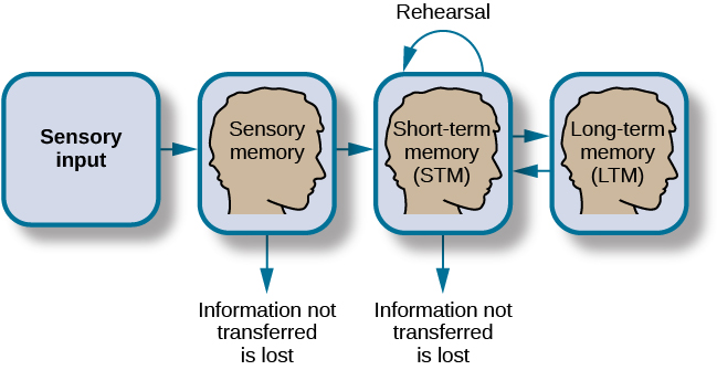 Sensory input leads to sensory memory. Information not transferred is lost. Sensory memory leads to Short-term memory. Information not transferred is lost. Short term memory leads to long-term memory.